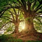 yuzucaの木